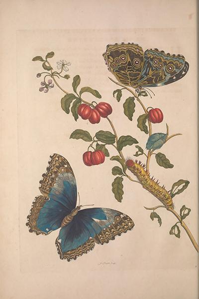 Amerikaamsche Kerschen (American Cherries)