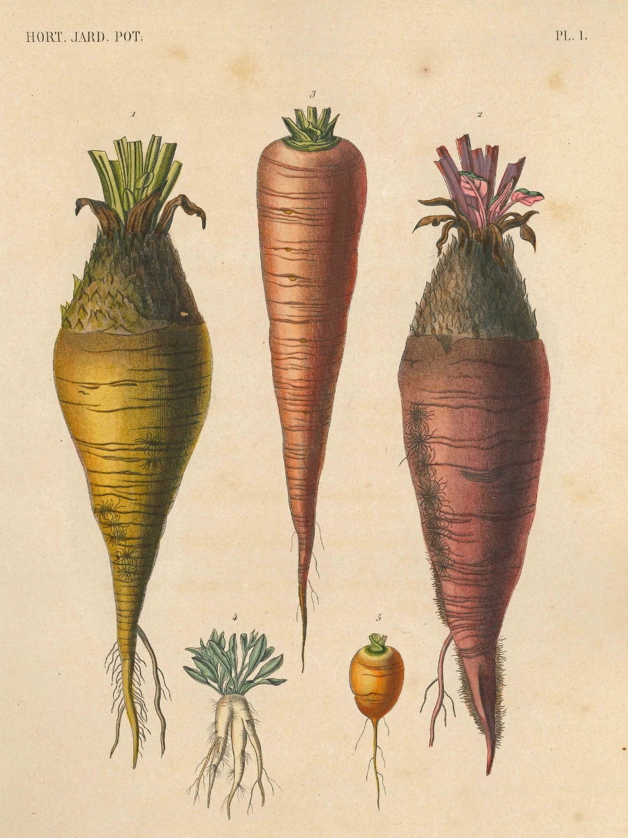 Plate 1 root vegetables