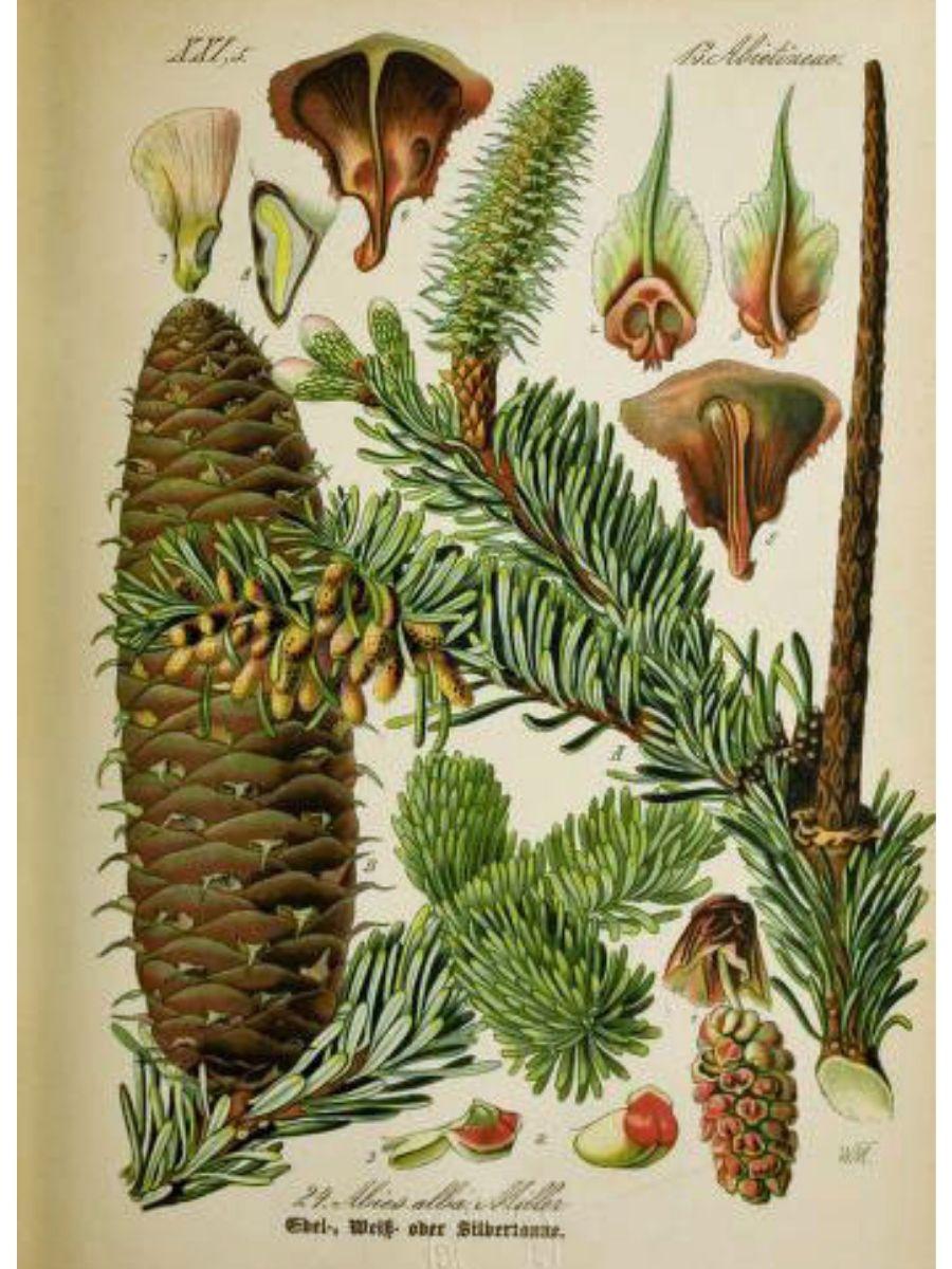 Abies alba (Silver fir)