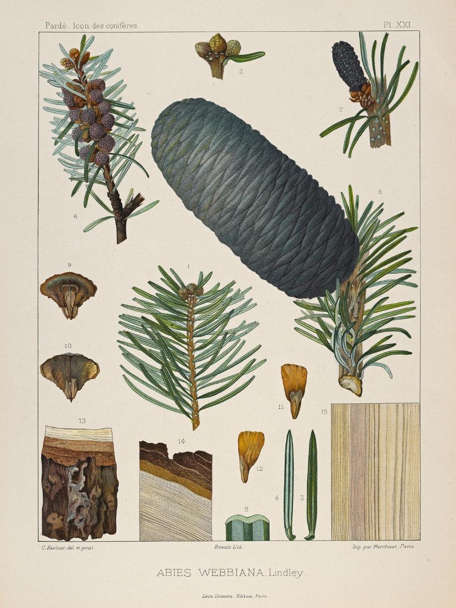 Abies webbiana (East Himalayan fir)