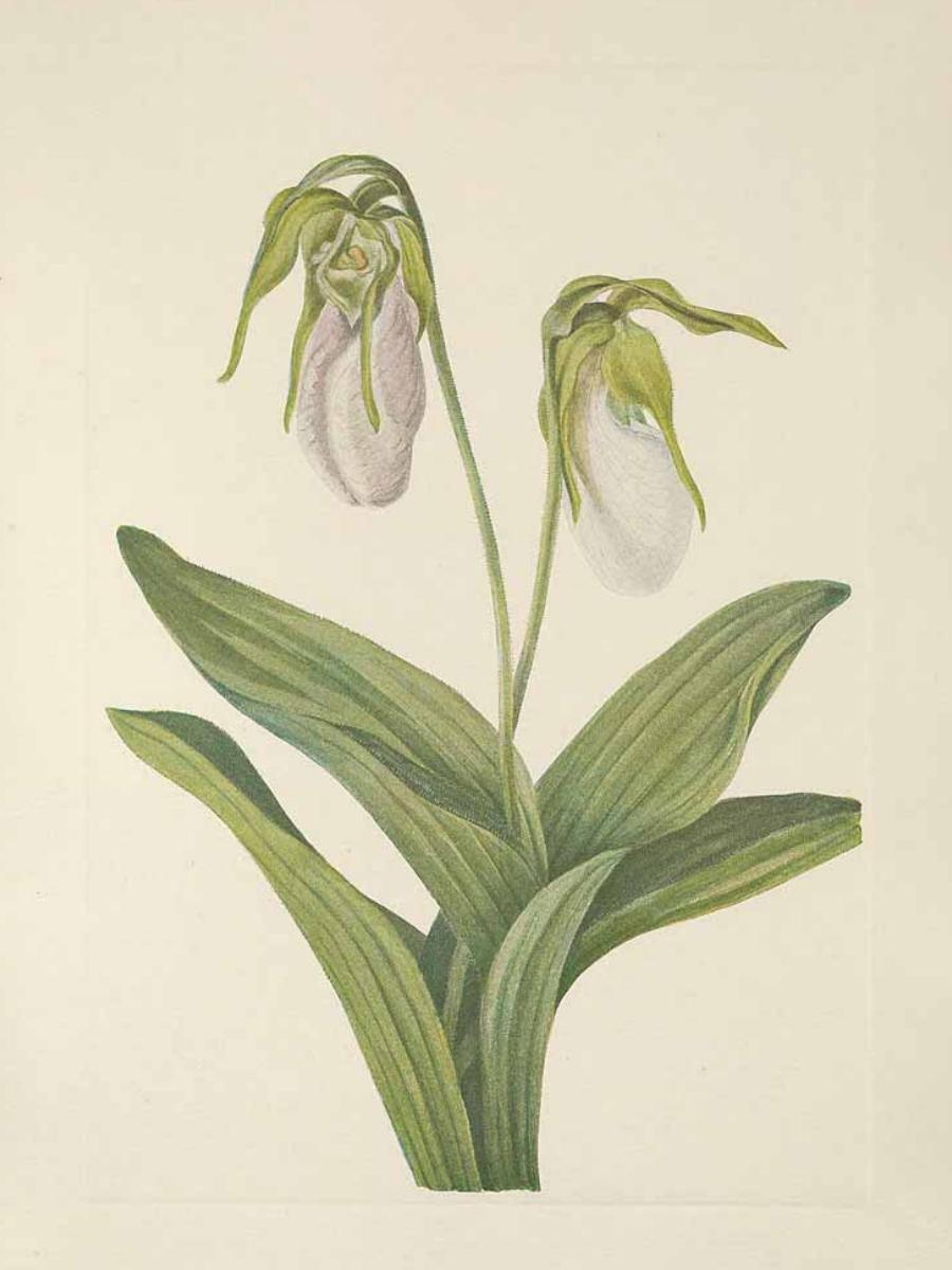 Cypripedium acaule (Lady's slipper)