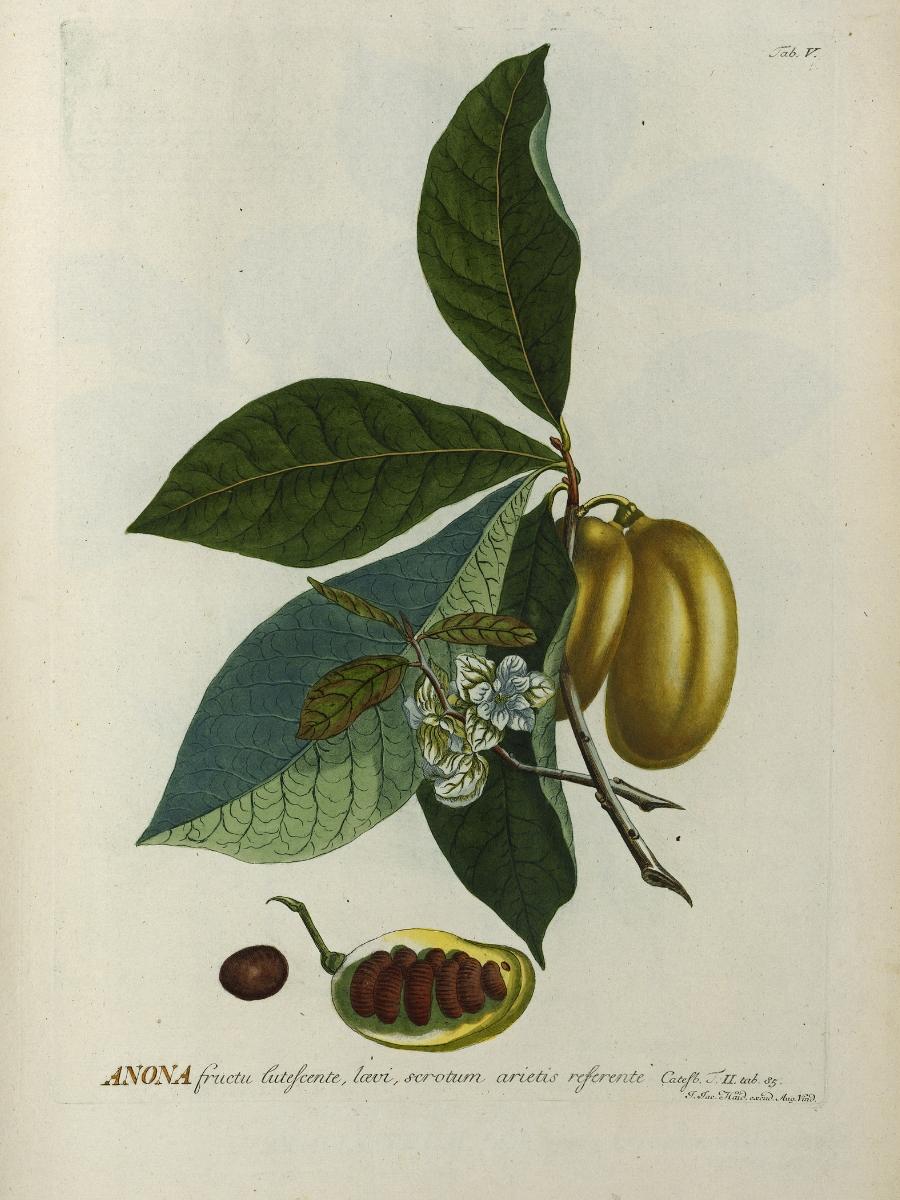 Asimina triloba (Pawpaw)