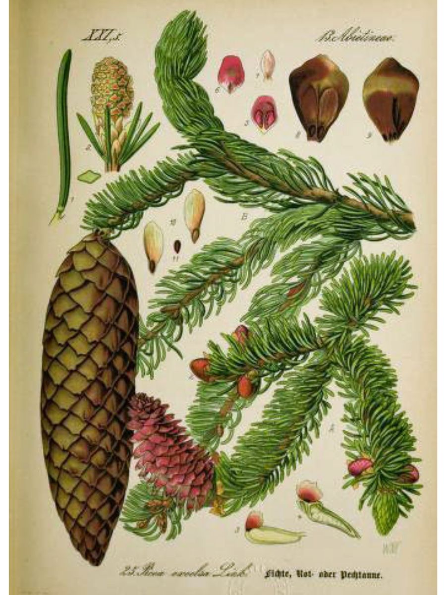 Picea excelsa (Norway spruce)