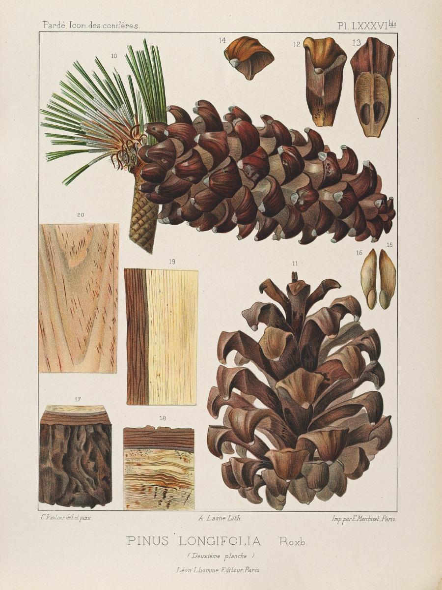 Pinus longifolia (Chir pine)
