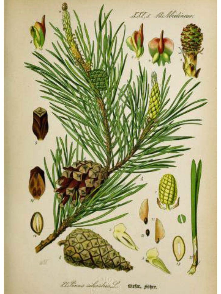 Pinus silvestris (Scots pine)