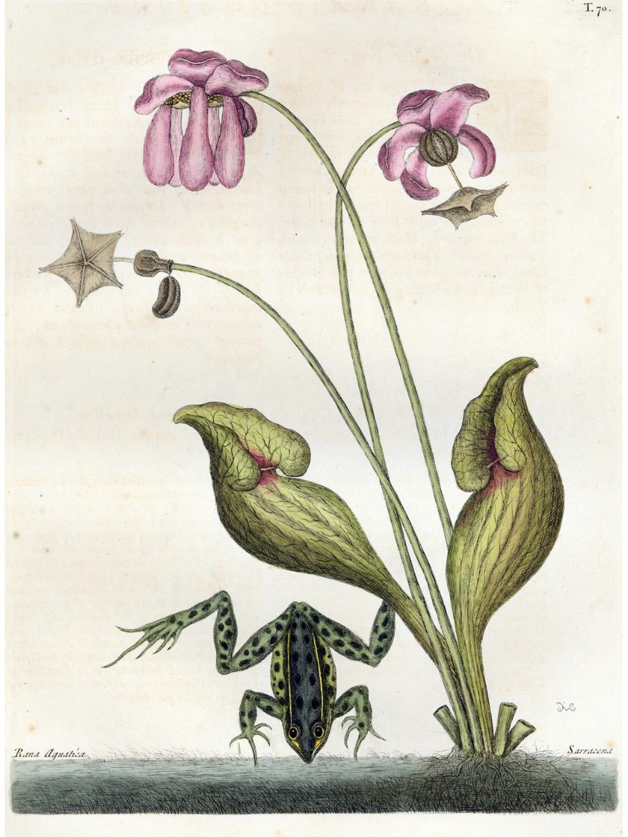 Sarracenia purpurea (Pitcher plant)