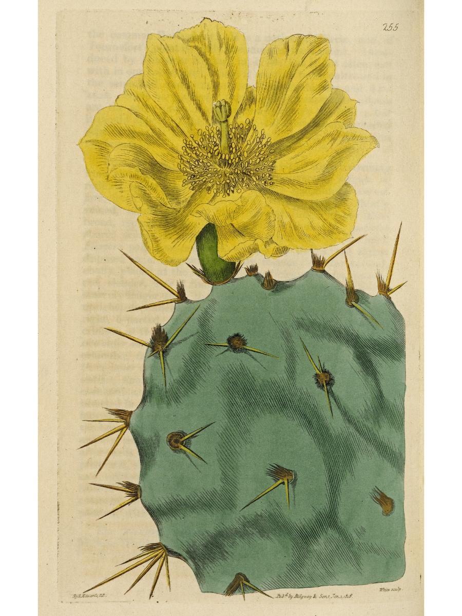 Opuntia humifusa (Prickly pear)