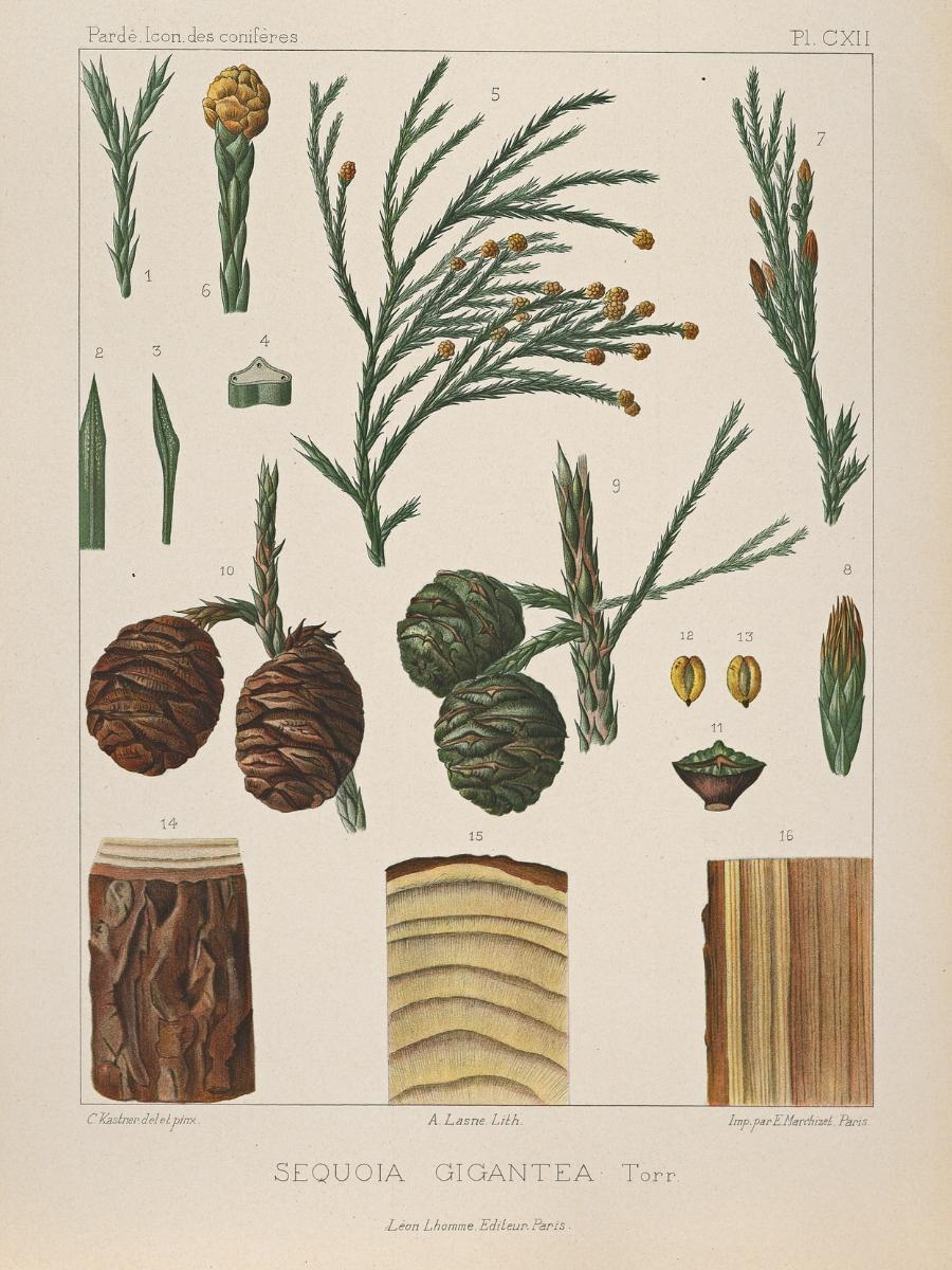 Sequoia gigantea (Sequoia)