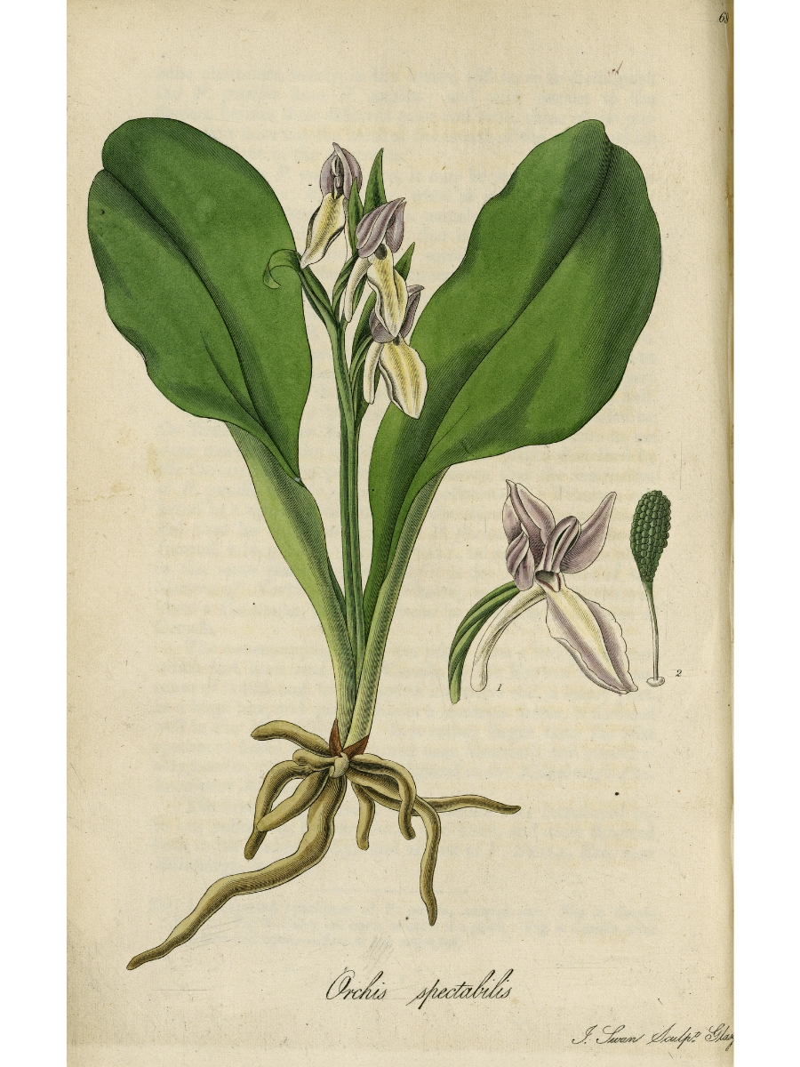 Orchis (Galearis) spectabilis (Showy Orchid)