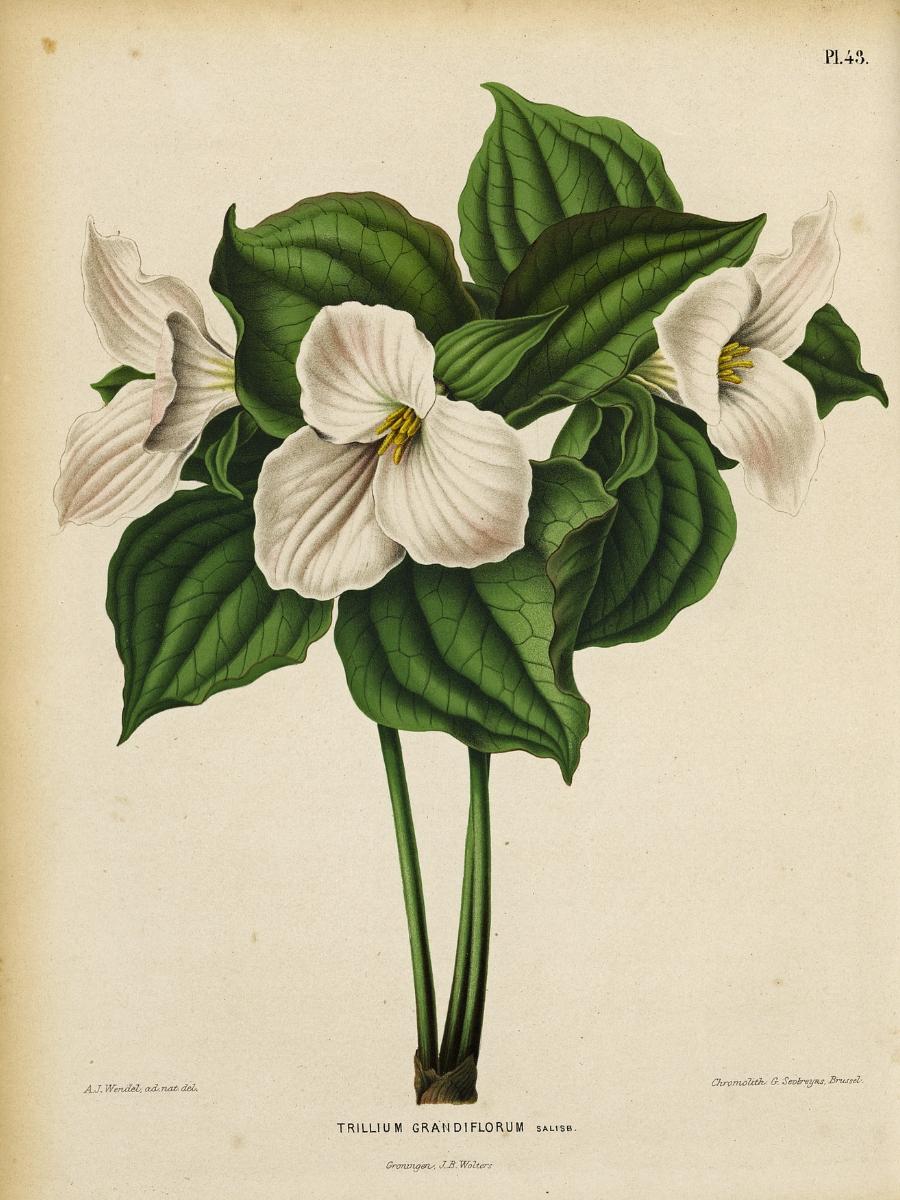 Trillium grandiflora (White trillium)