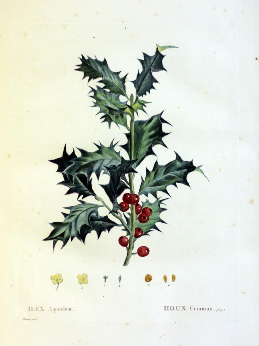 Ilex aquifolium (Common holly)