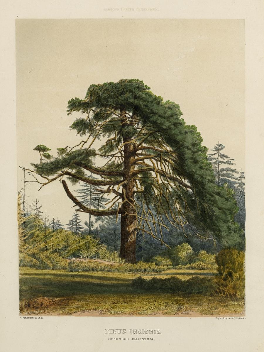 Pinus insignis (Monterey pine)