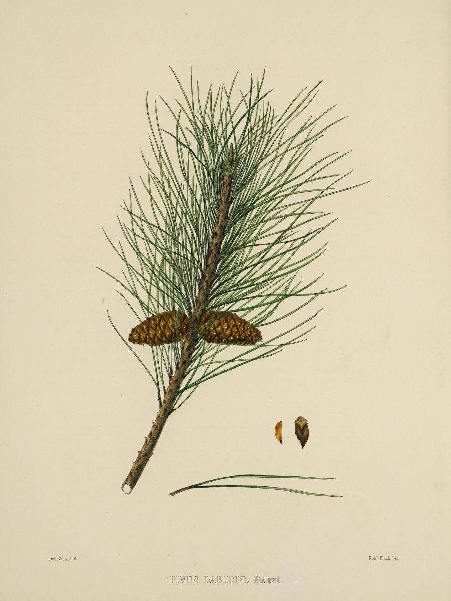Pinus laricio (Austrian pine)