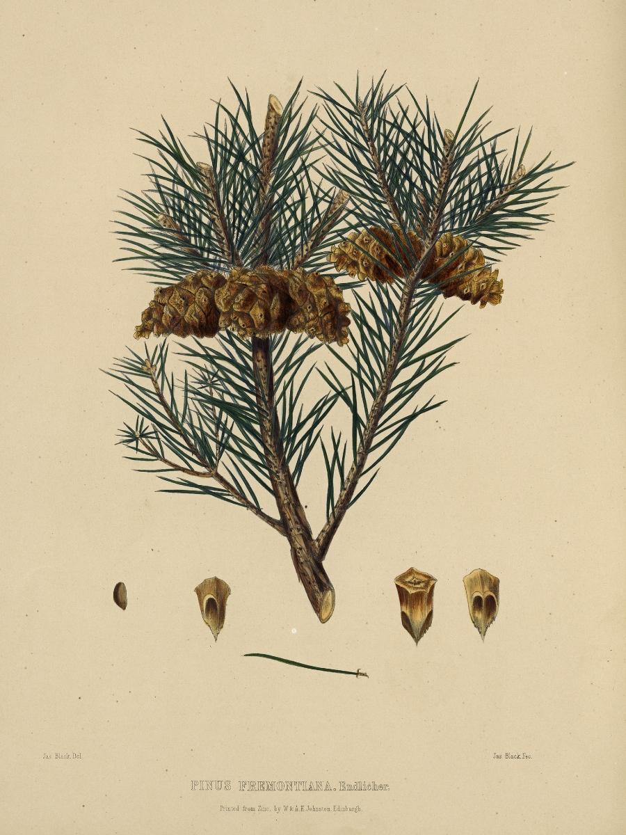 Pinus fremontiana (One-leaved nut pine)