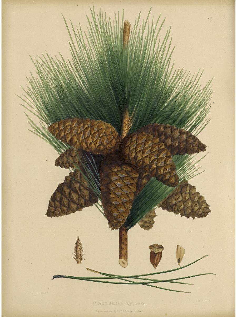 Pinus Pinaster (Maritime pine)