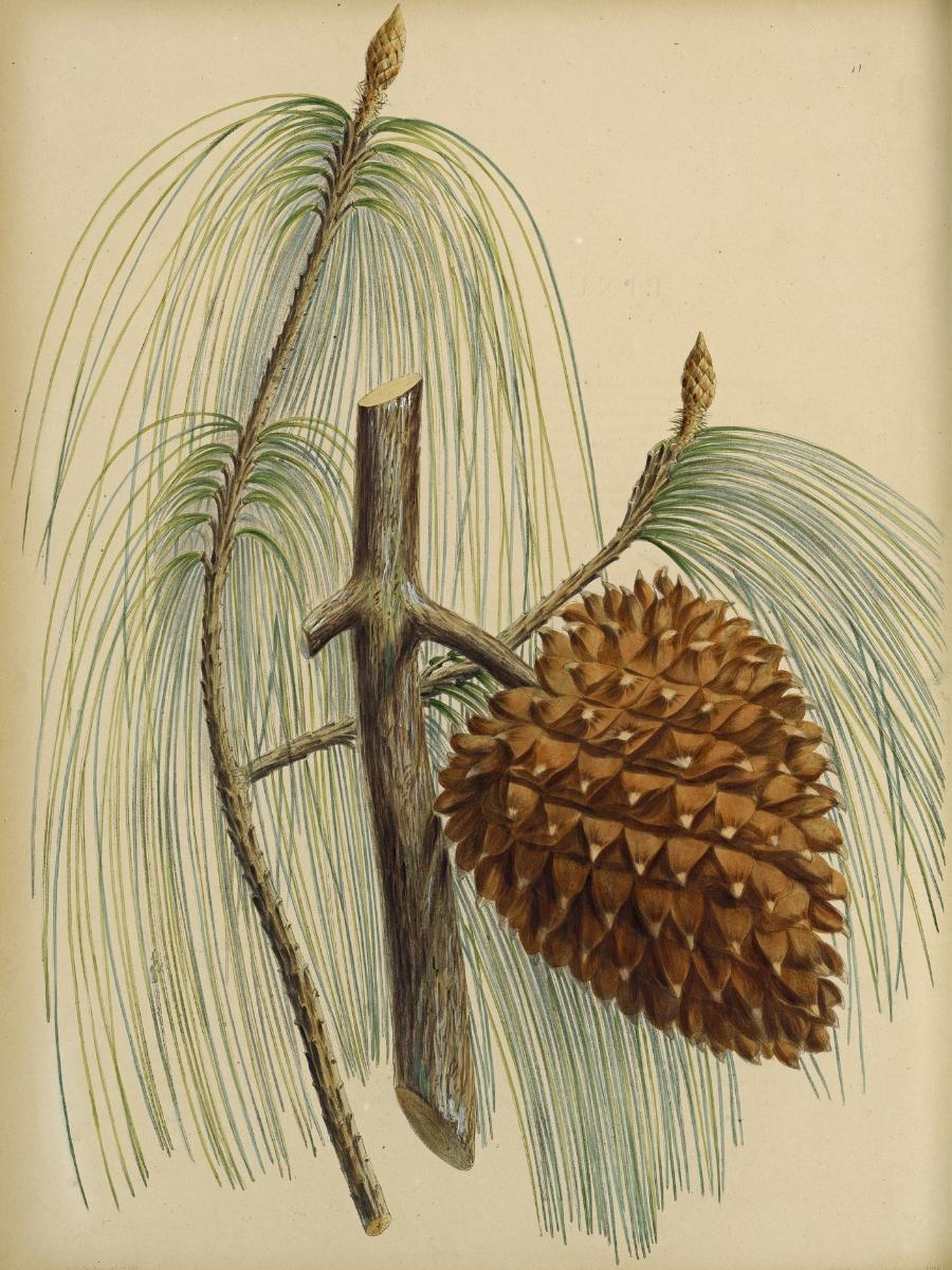 Pinus sabiniana (Gray pine)
