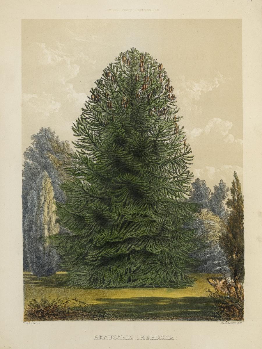 Auricaria imbricata (Monkey puzzle tree)