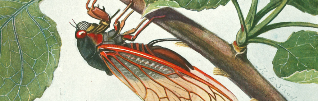 Color illustration of a cicada on a branch