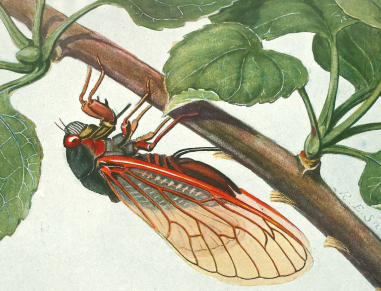 Coolor illustration of cicada on a branch