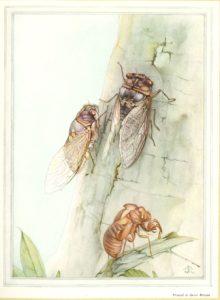 Fabre's watercolor of cicadas on a tree.