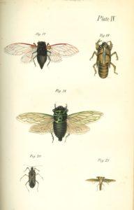 Jaeger color plate illustration of cicadas.