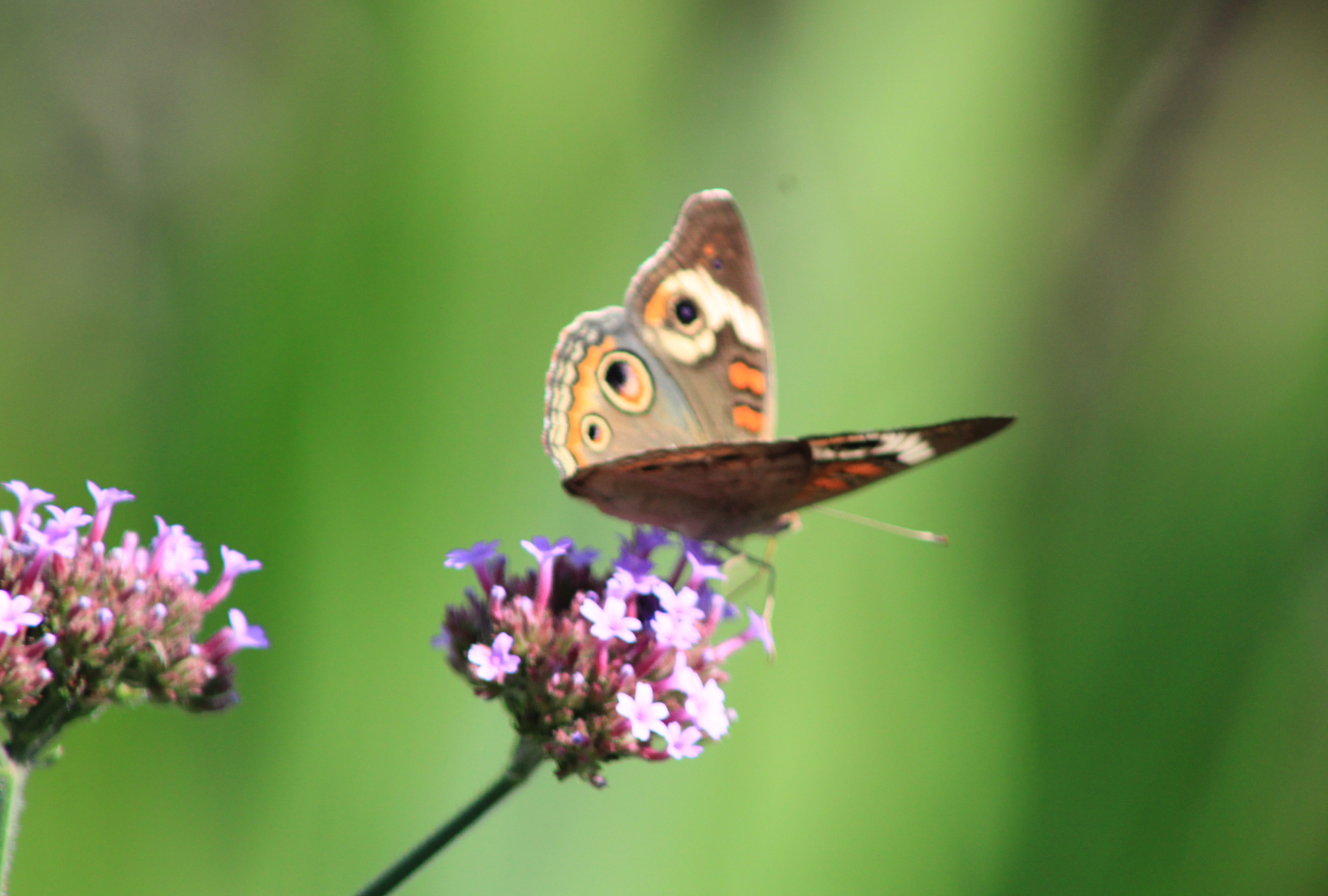Image of butterfly on milk weed