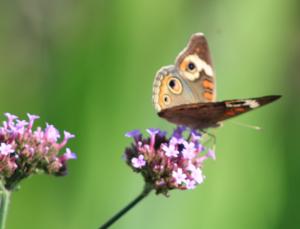 Image of butterfly on milkweed